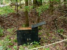 Releasing a live-captured pine marten.